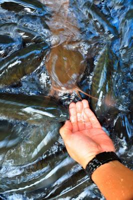 Konsep Tagal Memberikan Perkembangan Baik Terhadap Pemuliharaan Sumber Ikan Air Tawar Terutama Ikan Kelah