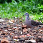 Burung Tekukur - Streptopelia chinensis