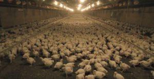 Kilang ayam. Ternakan secara komersil tertutup.