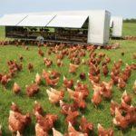 ladang ayam