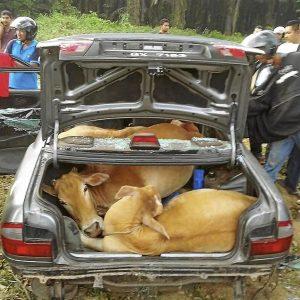 4 ekor lembu dilarikan menaiki kereta Proton Wira.