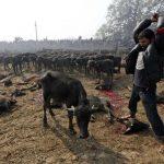 Acara korban lembu di Nepal.