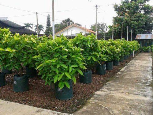 Anak semaian pokok jambu air sedia untuk ditanam di atas tanah.