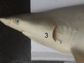 Belahan Rongga Insang Ikan Yu Carcharhinus Brevipinna