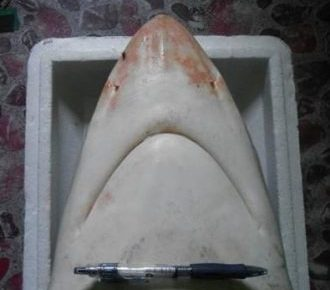 Carcharhinus Amblyrhynchoides Bawah