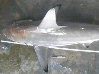 Carcharhinus Amblyrhynchoides Belakan