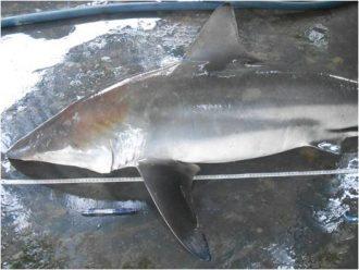Carcharhinus Amblyrhynchoides Muncun