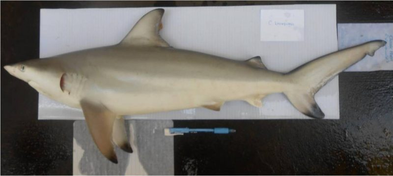 Carcharhinus Brevipinna