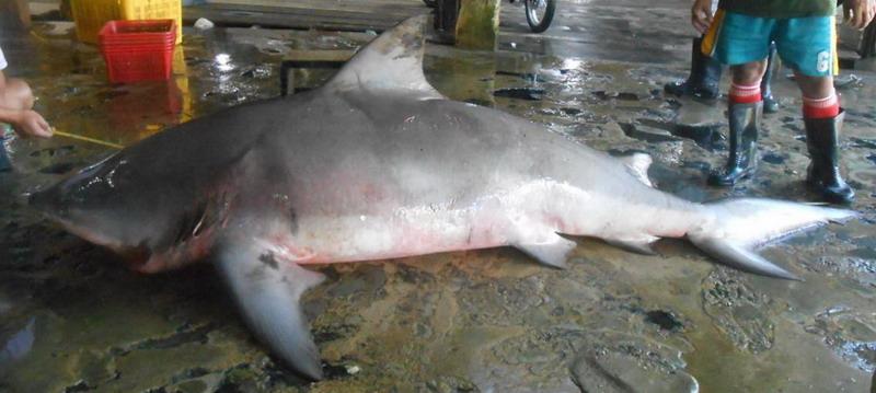 Carcharhinus Leucas Besar
