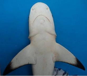 Carcharhinus Melanopterus Bawah