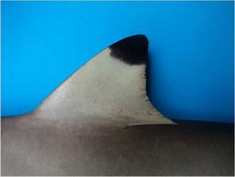 Carcharhinus Melanopterus Siri