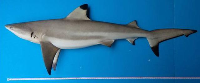 Carcharhinus Melanopterus Sisi