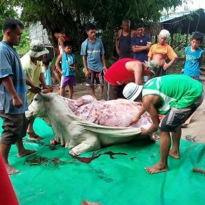 Gambar perbuatan zalim, lembu dilapah tanpa disembelih.