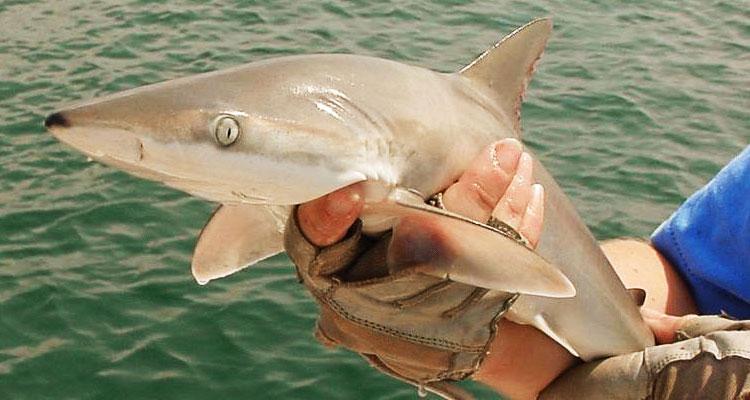 Jenis Ikan Yu Yang Ditangkap Di Perairan Semenanjung Malaysia