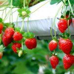 Ladang Strawberi