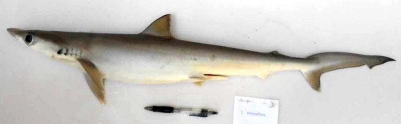 Loxodon Macrorhinus Yu Mata Lekuk Badan
