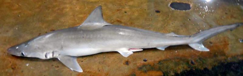 Loxodon Macrorhinus Yu Mata Lekuk