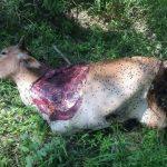 Perbuatan mencuri kaki lembu yang sangat tragis.