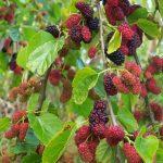 Pokok Mulberry Di Malaysia