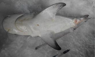 Yu Garang Atau Carcharhinus Leucas