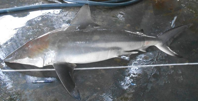 Yu Jalur Putih Atau Carcharhinus Amblyrhynchoides