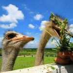 Beri Makan Burung Unta Di Uk Farm Resort Kluang Johor