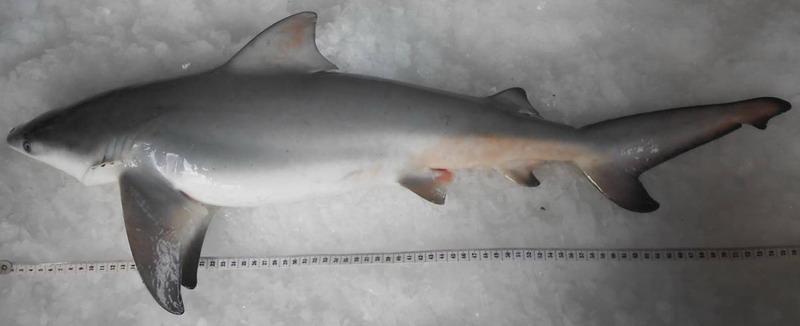 Gambar Penuh Yu Garang Atau Carcharhinus Leucas