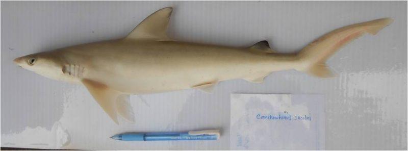Gambar Penuh Yu Pasir Carcharhinus Sealei