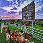 Kambing Antara Haiwan Diternak Di Uk Farm Resort Kluang Johor