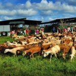 Kandang Kambing Di Uk Farm Resort Kluang Johor