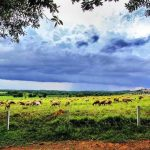 Pandangan Sekitar Padang Ragut Di Uk Farm Resort Kluang Johor