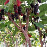 Pokok Mulberi