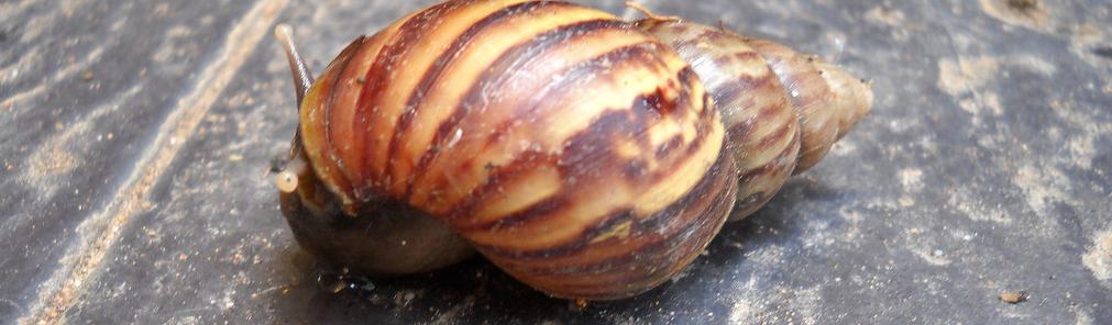 Siput Babi African Snail