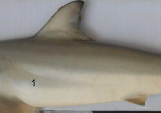 Sisi Ikan Yu Carcharhinus Brevipinna