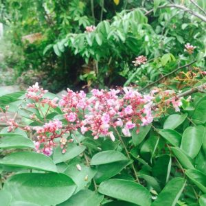 Pokok Belimbing