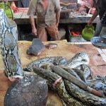 Daging Ular Sawa