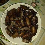Makanan Eksostik Kumbang Kelapa