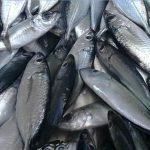Spesis Ikan Pelagik Yang Menghuni Unjam