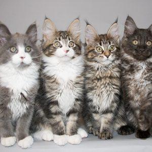 Anak Kucing Maine Coon