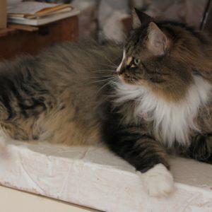 Badan Kucing Maine Coon