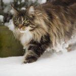Bulu Lebat Kucing Maine Coon