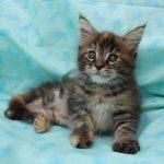 Foto Anak Kucing Maine Coon