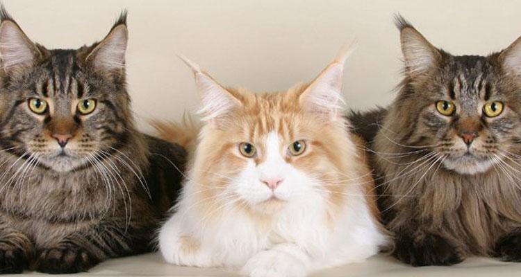 Jenis Kucing Maine Coon Asli Cantik