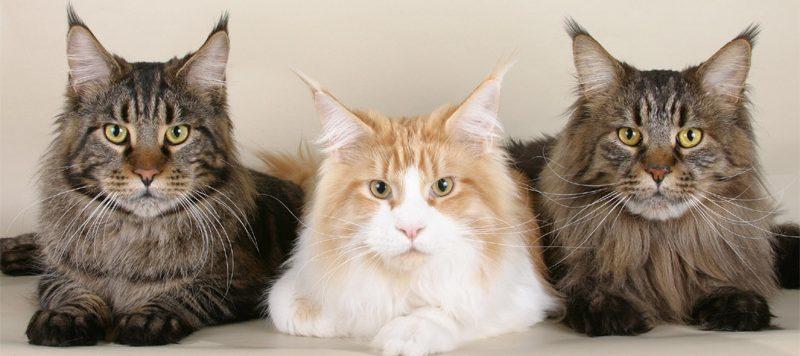Kucing Maine Coon Asli Cantik