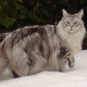 Kucing Maine Coon Di Habitat Asal