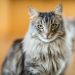 Kucing Maine Coon Jantan