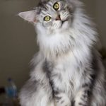 Kucing Maine Coon Umur 9 Bulan
