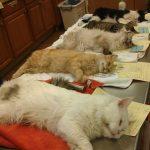 Pembedahan Memandulkan Kucing