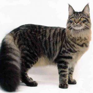 Ramai Suka Kucing Maine Coon Corak Begini
