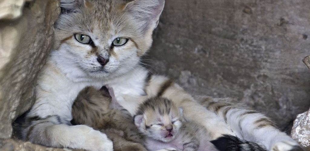 Penjagaan Kucing Selepas Melahirkan Anak